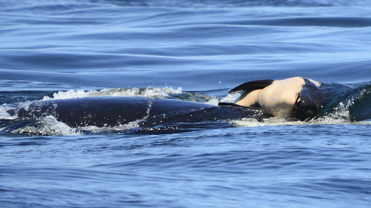 After Calf's Death, Orca Mother Carries It For Days In 'Tragic Tour Of Grief' : NPR