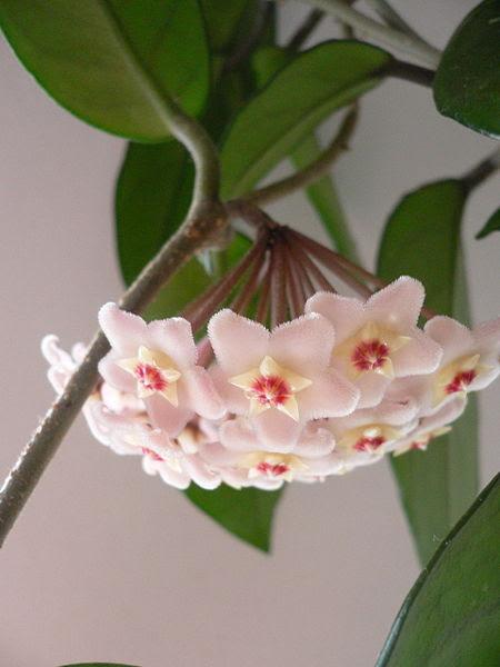 Archivo:Hoya carnosa 01.jpg