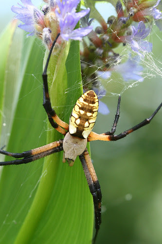 Argiope aurantia by pdecell