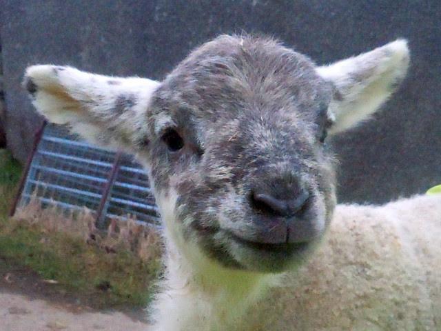 Tilly's Lamb
