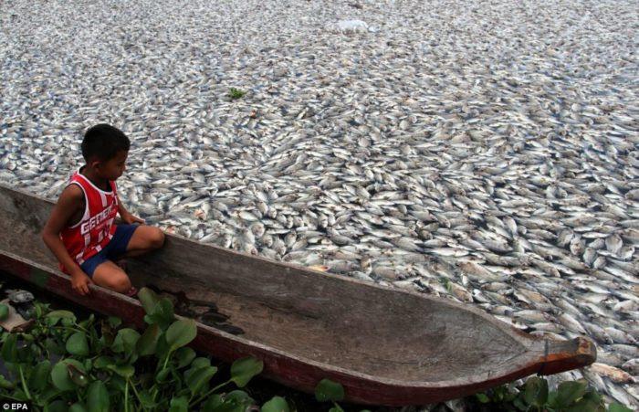 Αποκαλυπτική Fish Die-off σε Maninjau λίμνη στην Ινδονησία - Μαρτίου 2014, τα Αποκαλυπτική Fish Die-off σε Maninjau λίμνη στην Ινδονησία, Αποκαλυπτική Fish Die-off σε Maninjau λίμνη στην Ινδονησία - Μάρτιος 2014 Η λίμνη καλύπτεται από τα νεκρά ψάρια μάζα die-off Ινδονησία Μάρτιος 2014, τεράστια ψάρια μάζα die-off στην Ινδονησία, η μάζα των ψαριών στη λίμνη Maninjau die-off Μάρτιο του 2014, η μάζα των ψαριών στη λίμνη Maninjau die-off φωτογραφία Μάρτιο 2014, Μάρτιο 2014 μάζας ψάρια πεθαίνουν-off, μάζα die-off ειδήσεις Μάρτη του 2014, Ινδονησία μάζα ψάρια πεθαίνουν-off Μάρτιος 2014