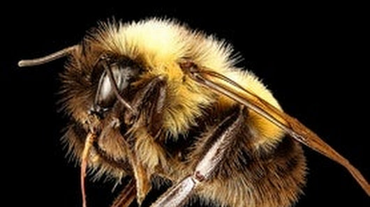 How to Protect Our Disappearing Bumble Bees