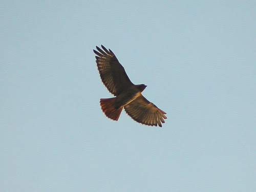 Divine Red-Tailed Hawk over Morningside Drive