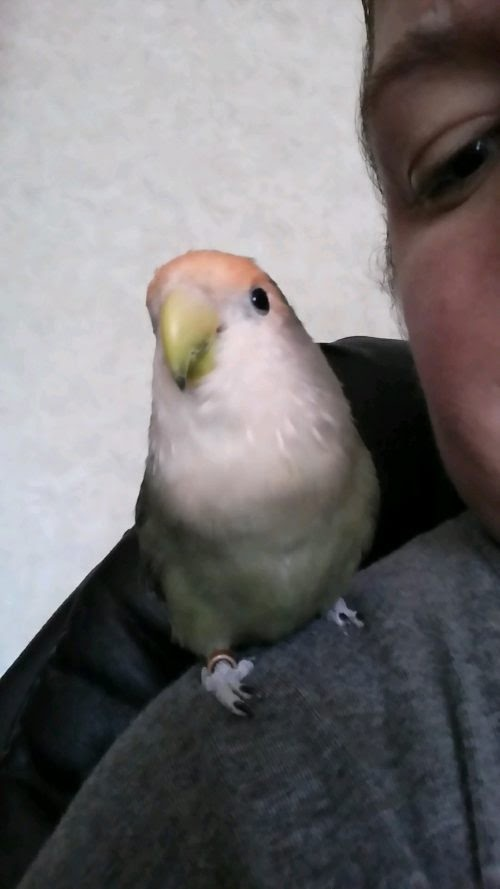 Fabio – the fantastic little lovebird!