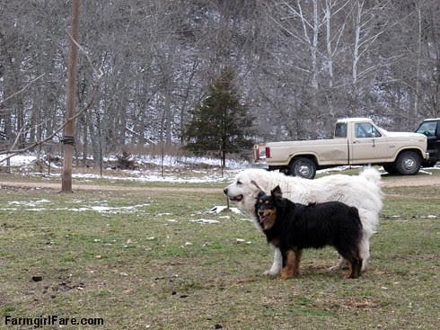 Hello spring (5) - Daisy and Bear taking a break from romping around - FarmgirlFare.com