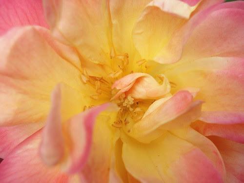 senses. backyard roses. {taste}