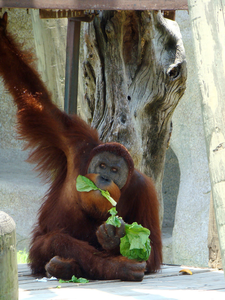 DSC06459 orangutan eating lettuce
