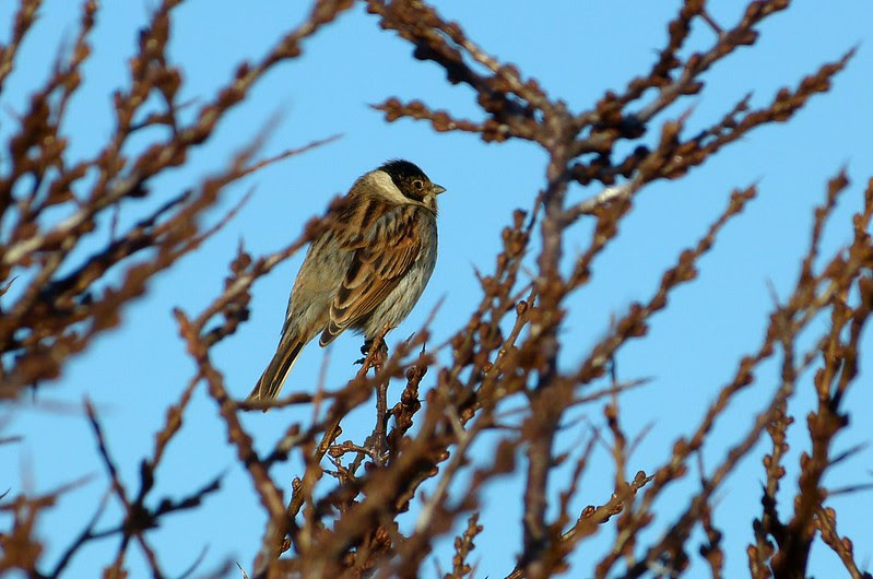 P1060684 - Reed Bunting, Llanelli