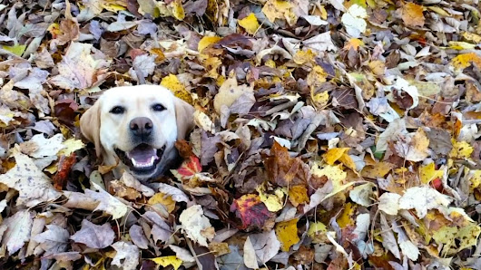 Silly Yellow Lab Repeatedly Chases Her Beloved Yellow Ball Into a Pile of Freshly Raked Autumn Leaves