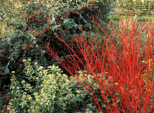 Red Twig Dogwood Shrubs: Care and Growing Tips