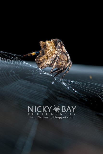 Tree Stump Orb Weaver (Poltys sp.) - DSC_5065