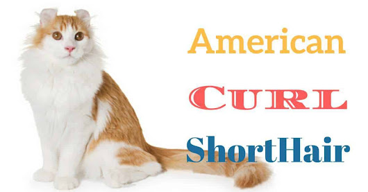 Made in USA ¿Cómo es el gato American Curl ShortHair? - YellowBlog