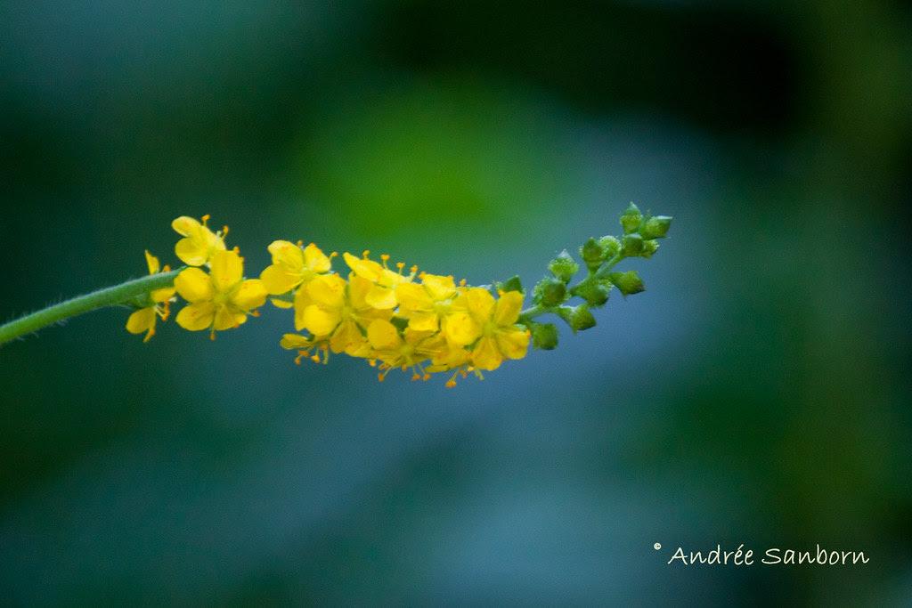 Agrimony (Agrimonia eupatoria)-2.jpg