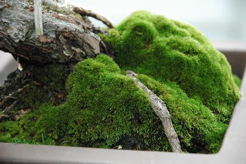 Detail, Cascade Bonsai