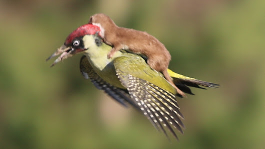 Woodpecker shown flying with weasel on its back in amateur photographer's amazing image