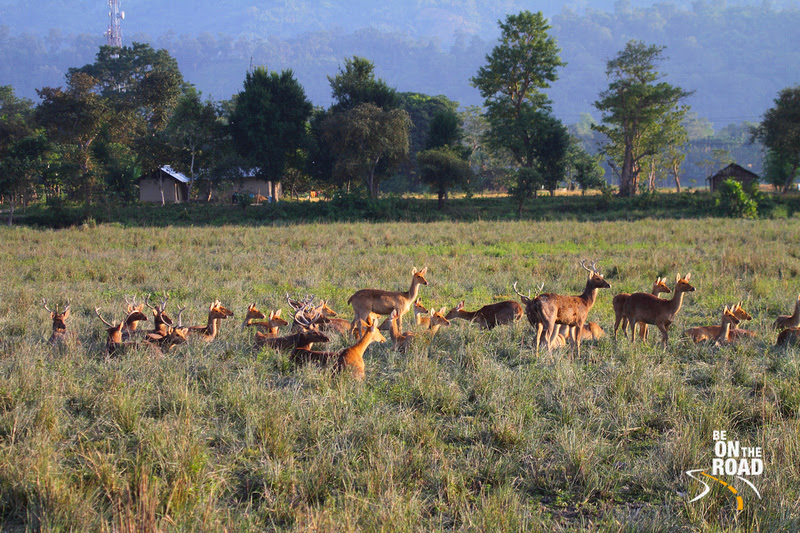 Large Herd of Swamp Deer (Barasingha)