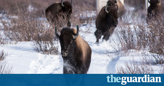 Canada reintroduces bison to Banff national park after more than a century | World news | The Guardian