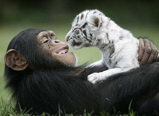tiger-chimp