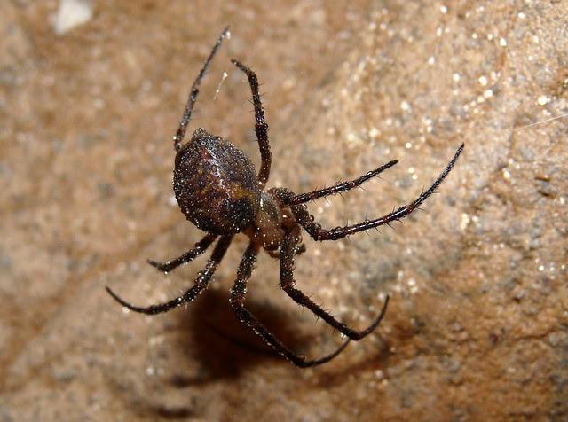 25022 - Cave Spider, Gower