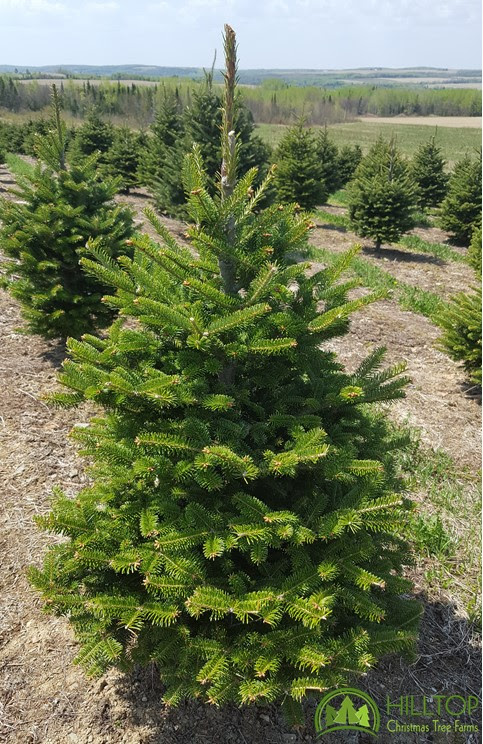 Decorating for the Season with Hilltop Christmas Tree Farms