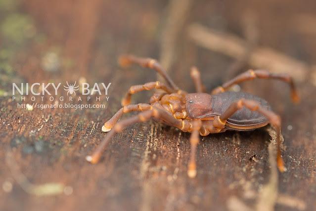 Harvestman (Opiliones) - DSC_4299