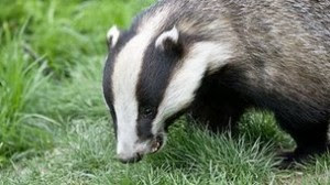 _62939953_z9220135-european_badger-spl