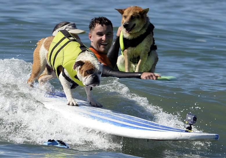 Competición de surf canino