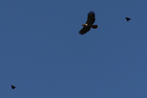 IMG_0234_Red_Wing_Blackbirds_Chasing_Red_Tail_Hawk