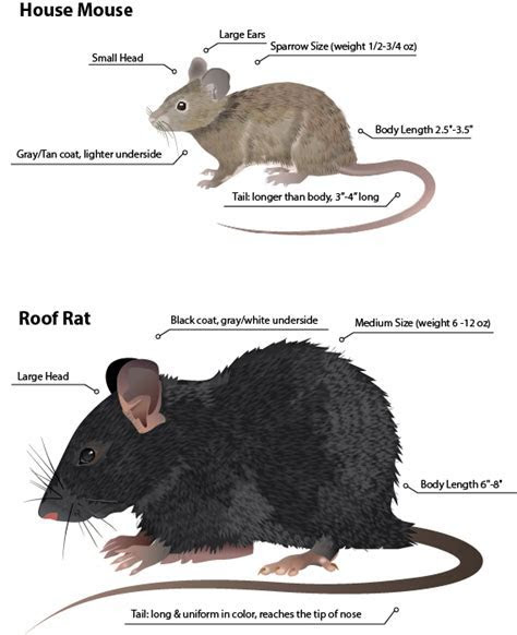 Rodent Control and Rat Removal