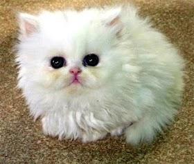 Kucing Lucu Dan Harganya