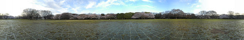 Cherry Blossom - Panorama