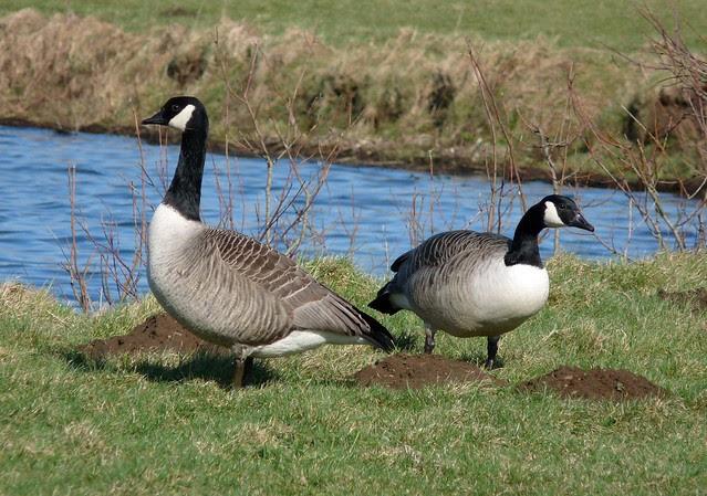 25576 - Canada Geese, Kenfig Pool