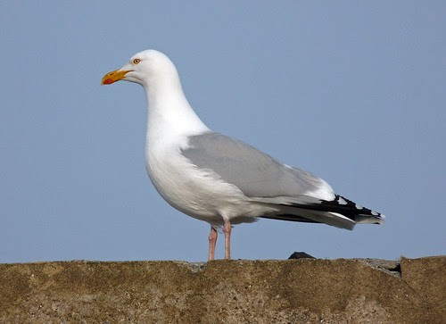12292 - Herring Gull