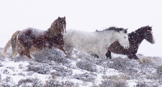Federal Court Rules BLM Violated Law in Wyoming Wild Horse Roundup
