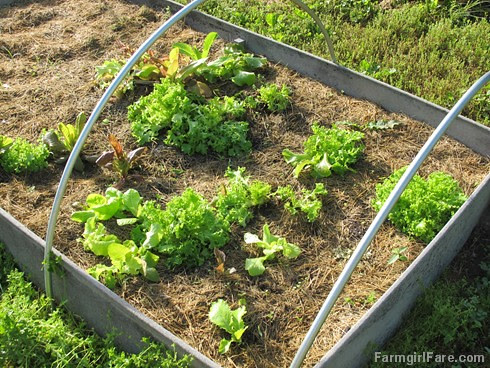 (27-6) Volunteer lettuce in last fall's salad bed, after ransacking it for dinner - FarmgirlFare.com