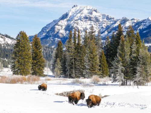 How to visit Lamar Valley: A winter trip to Yellowstone National Park