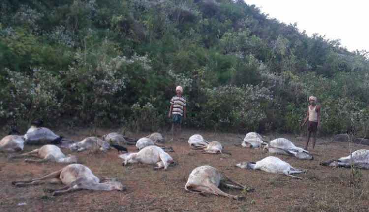 cattle death india, 50 Cows Mysteriously Found Dead In coastal India