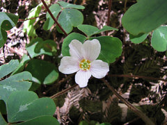 redwood sorrel - oxalis oregana
