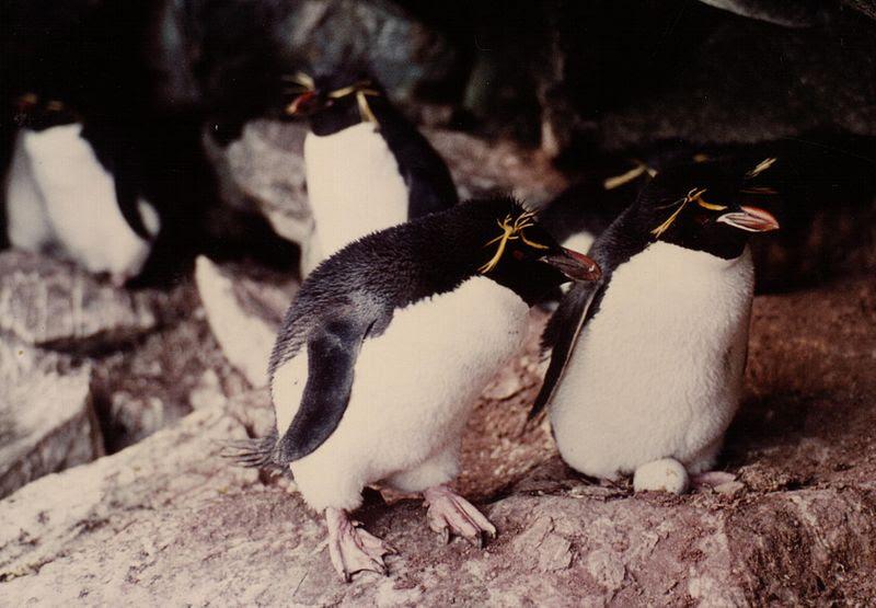 File:Eudyptes chrysocome.JPG