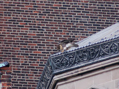 Divine Red-Tailed Hawk at Cathedral of St. John the Divine