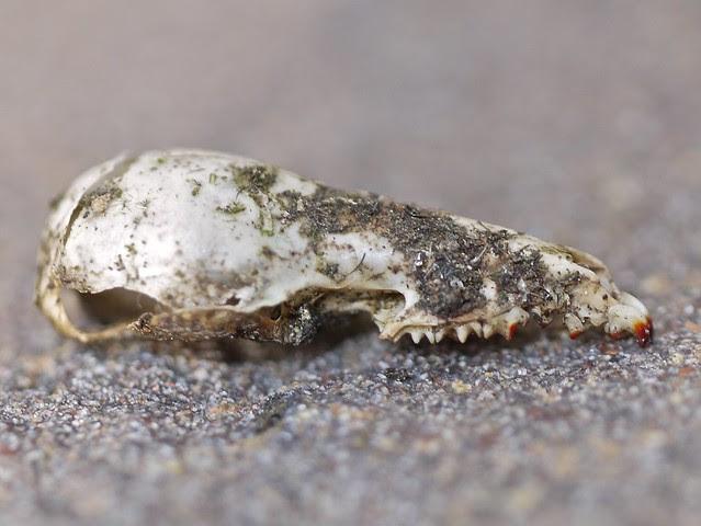 shrew skull