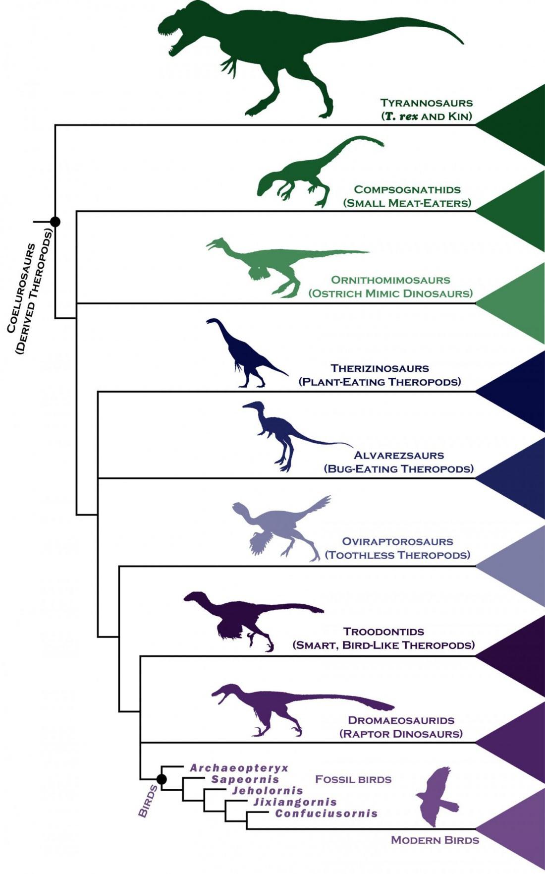 L'arbre généalogique des dinosaures carnivores et des oiseaux (Stephen Brusatte)