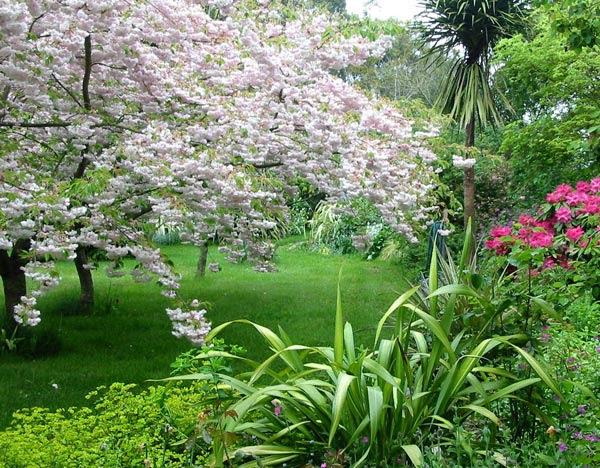 cherry tree blossom. cherry tree blossom
