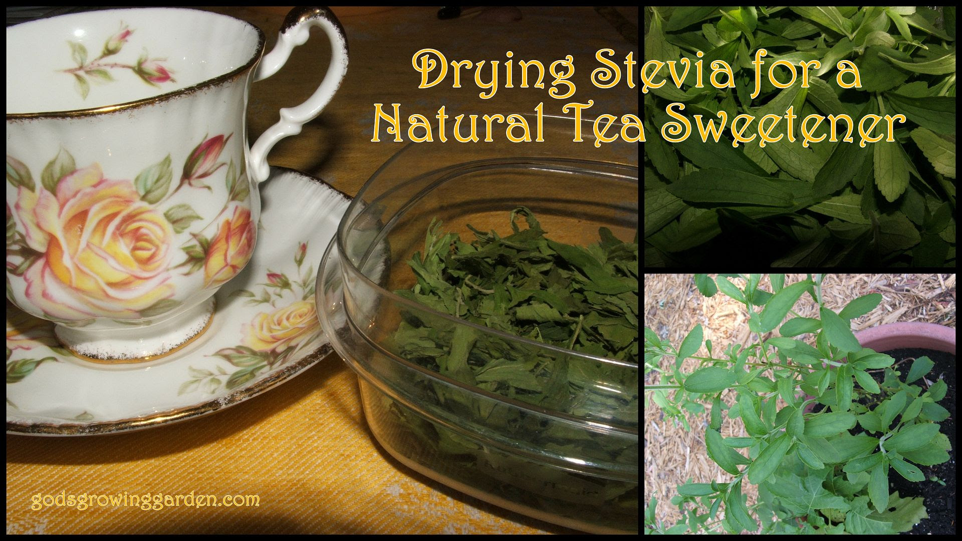 Stevia by Angie Ouellette-Tower for godsgrowinggarden.com photo 2014-10-07_zps908c04c9.jpg