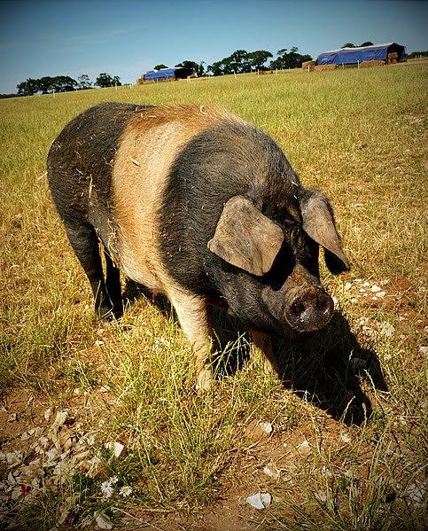 File:Saddleback pig, Norfolk.jpg