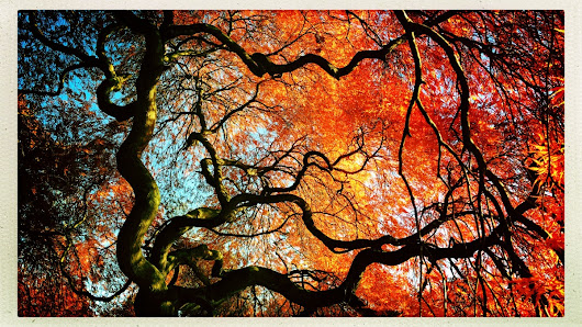 View of Morning Sky through Twisted Limbs of an Old Japanese Maple