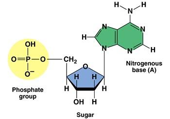 Bioquímica | Ácidos Nucleicos e Síntese Protéica