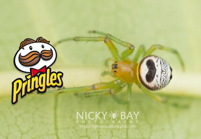 Kidney Garden Spider (Araneus mitificus) - DSC_0931b