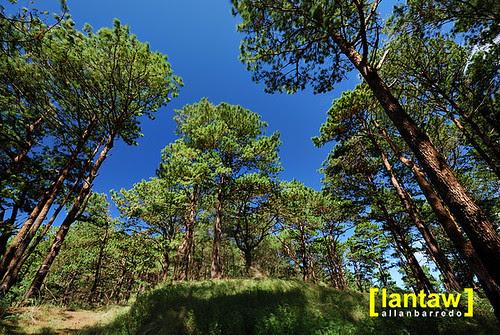 Salacsac Pine Forest 3