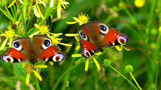 Become an Expert on Perennial Flowers That Attract Butterflies